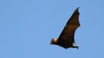 flying_fox_01