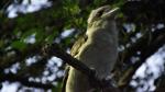 kookaburra_01