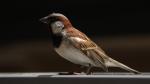 sparrow_02