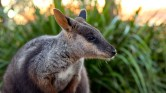 wallaby_01